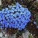 Blühende Himmelsherolde (Eritrichium nanum). DIe Pflanze wächste auf saurem und kalkarmem Gestein in Felsspalten, Graten und Kuppen oberhalb 2500m. Man trifft sie in den Alpen bis auf eine Höhe von 3400m an!