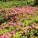 dieses Jahr blühen die Alpenrosen sehr üppig