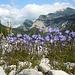 Glockenblumen am Karwendelbach