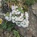 Androsace alpina (Mannsschild), Fidaskar