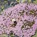 Prächtige Blütenpolster.