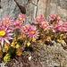 Blütenpracht an den gletschergeschliffenen Felsplatten.