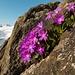 Wunderbare Blümchen mitten im Fels.