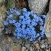 wir treffen auf die ersten dieser hübschen, kleinen, doch leuchtenden und wenig verbreiteten Blumenpölsterchen