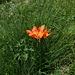 Immer wieder angetroffen: Feuerlilien oder Goldrosen