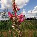Eine Blütenrispe der Saat-Esparsette