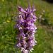 """Überall Orchideen. Im Volksmund wohl """"Knabenkraut"""" genannt."""