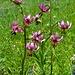 Die Alpenflora zeigt sich auch grenzenlos phantasievoll und blüht in allen Farben.