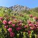 Alpenrosen mit Lobspitze