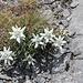 Edelweiss - zahlreich vorhanden