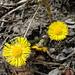 Untrüglicher Frühlingsbote: Huflattich (Tussilago farfara)