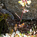 Am Sloahtta häufig: Lappland Läusekraut (Pedicularis lapponica)