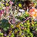 Die Beere der Beeren in Skandinavien: Moltebeere (Rubus chamaemorus). Die Schweden nennen sie Hjortron.