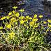 Am Ufer eines Bächleins: Bewimperter Steinbrech (Saxifraga aizoides) . Heisst auch Fetthennen-Steinbrech.