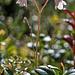 Unscheinbar und zierlich: Moosglöckchen (Linnaea borealis)