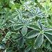 Kalk-Silbermantel (Alchemilla conjuncta)
