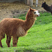 Alpakas und Ziege