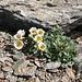 <b>Ranunculus glacialis.</b>