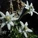 Edelweiss am Piz Ajüz