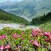 Alpenrosen blühen im Val Triazza, unten der Ausgangsort Scuol zu erkennen.