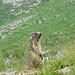 Marmotta alla Baita Masoni, l'avevo dimenticata. Ho fatto una breve discesa durante la salita per fotografare il gregge, e me la sono trovata davanti, per niente impaurita.
