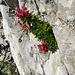 hübsches kleines Alpenrosen-Grüppchen in einer Felsritze
