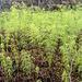 Kleines Wäldchen: Wald-Schachtelhalm (Equisetum sylvaticum))