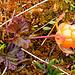 Reife Moltebeere (Rubus chamaemorus)