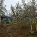 Kleine Samensiedlung im Birkenwald