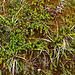 Fjällboden mit Krähenbeeren (Empetrum hermaphroditum)