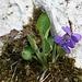 Frühlingsbote 2 (Stiefmütterchen)