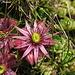 Uno dei miei fiori preferiti, il Semprevivo