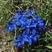 Bouquet di genzianelle