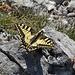 Einer der schönsten Schmetterlinge..ein Schwalbenschwanz.