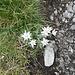 Edelweiss am Wegrand.