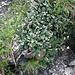 <b>Salix reticulata.</b>