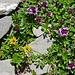 Alpenflora II  gelb: Steinbrech violett: Alpen-Ehrenpreis