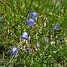 Alpenflora III: Glockenblumen