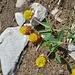 Alpenflora IV (sieht aus wie eine Mischung aus gelbem Klee und Hopfen)