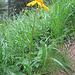 Arnica montana. Asteraceae.<br /><br />Arnica.<br />Arnica des montagnes.<br />Arnika.
