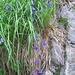 Campanula scheuchzeri. Campanulaceae.<br /><br />Campanula di Scheuchzer.<br />Campanule de Scheuchzer.<br />Scheuchzer Glockenblume.