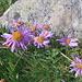 Aster alpinus. Asteraceae.<br /><br />Astro alpino.<br />Aster des Alpes.<br />Alpen-Aster.