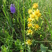Che fiore è? Wer kann mir diese Blumen identifizieren?  Solidago virgaurea subsp. minuta. Asteraceae.  Verga d'oro delle Alpi. Petite solidage. Alpen-Goldrute.