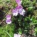 Primula integrifolia. Primulaceae.<br /><br />Primula a foglie intere.<br />Primèvere à feuilles entières.<br />Ganzblättrige Primel.