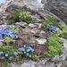 Pochi metri sotto la Cima di Gana Bianca un piccolo giardino allieta la vista.  Eritrichium nanum. Boraginaceae.  Eritrichio nano. Eritriche nain. Himmelsherold.