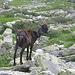 Prima dell'Alpe di Curgei incontriamo un piccolo ed eterogeneo gregge di capre.