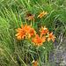 Senecio abrotanifolius. Asteraceae.  Senecio abrotanino. Sénecon à feuilles d'aurone. Eberreisblättriges Greiskraut.