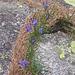 Phyteuma hemisfericum. Campanulaceae.  Raponzolo alpino. Raiponce hémisferique. Halbkugelige Rapunzel.
