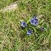 genziane in fiore