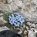 Das ist halt Südtirol - mitten in karger Felslandschaft kleine Rasenpolster mit zierlichen blauen Krokussen.  Ergänzung: [u Felix] meint, es seien wohl Himmelsherolde. Offenbar ist mein Freund der Erste, der sich durch meine provokative Falschbezeichnung eine Korrektur zutraut. Danke, Felix - ich hätte es nämlich nicht gewußt :-)